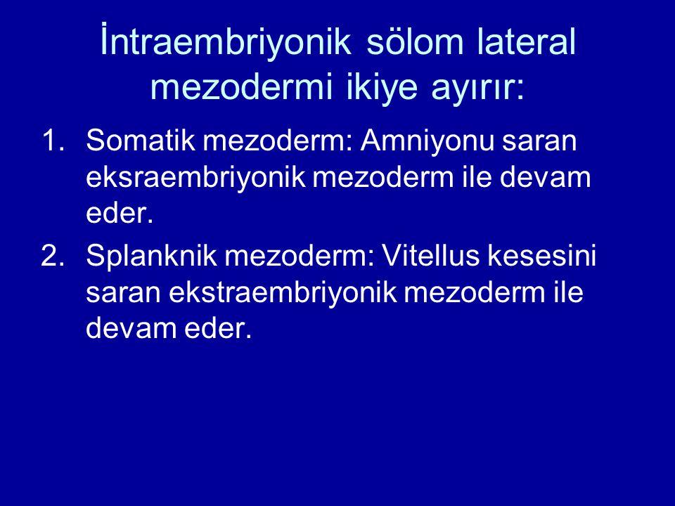 İntraembriyonik sölom lateral mezodermi ikiye ayırır: 1.Somatik mezoderm: Amniyonu saran eksraembriyonik mezoderm ile devam eder. 2.Splanknik mezoderm