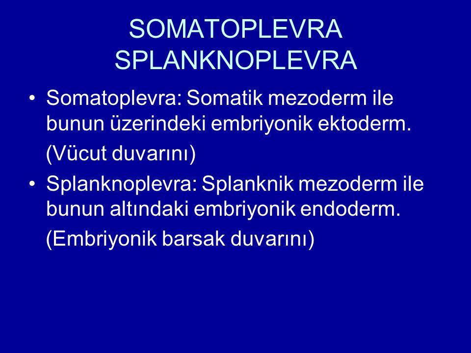SOMATOPLEVRA SPLANKNOPLEVRA Somatoplevra: Somatik mezoderm ile bunun üzerindeki embriyonik ektoderm. (Vücut duvarını) Splanknoplevra: Splanknik mezode