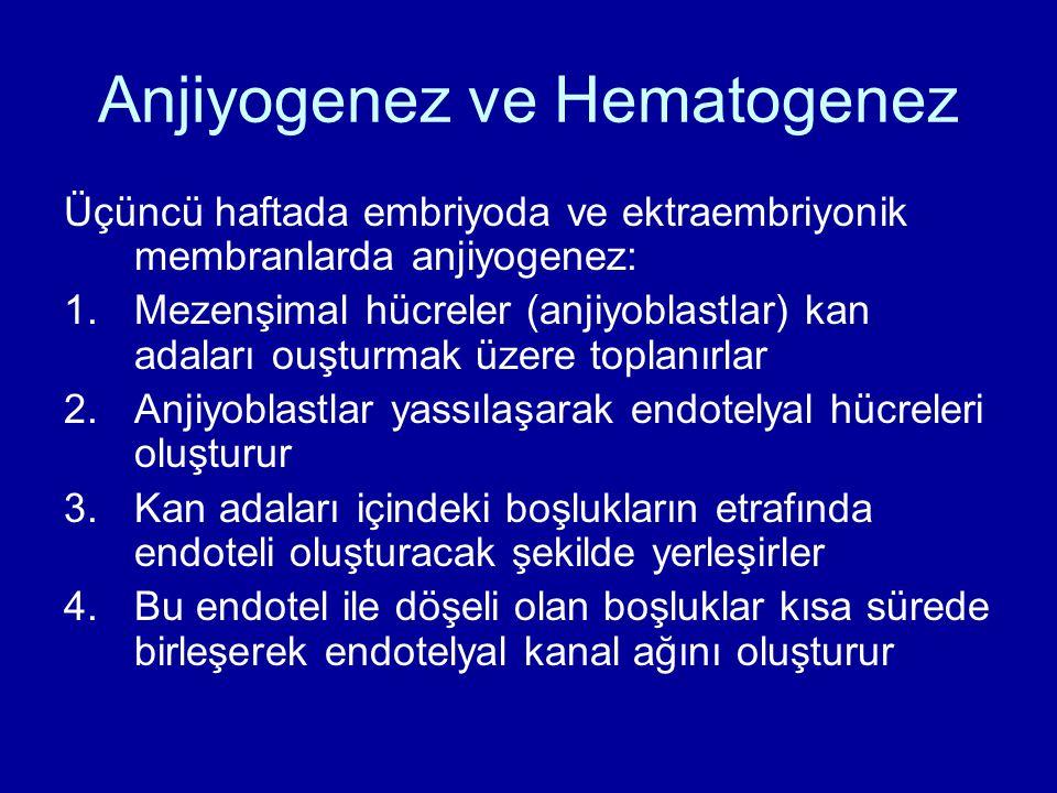 Anjiyogenez ve Hematogenez Üçüncü haftada embriyoda ve ektraembriyonik membranlarda anjiyogenez: 1.Mezenşimal hücreler (anjiyoblastlar) kan adaları ou