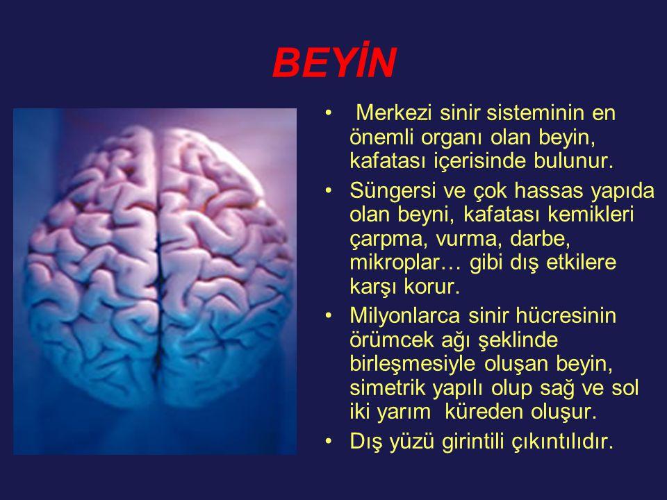 BEYİN Merkezi sinir sisteminin en önemli organı olan beyin, kafatası içerisinde bulunur. Süngersi ve çok hassas yapıda olan beyni, kafatası kemikleri