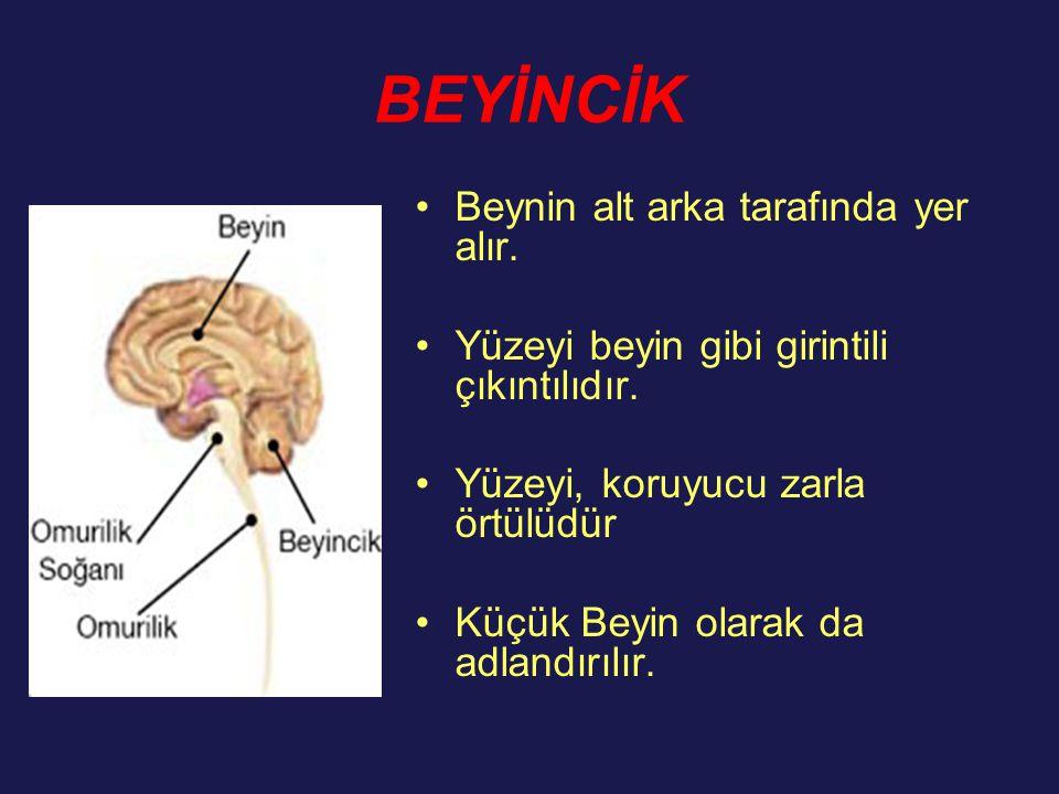 BEYİNCİK Beynin alt arka tarafında yer alır. Yüzeyi beyin gibi girintili çıkıntılıdır. Yüzeyi, koruyucu zarla örtülüdür Küçük Beyin olarak da adlandır