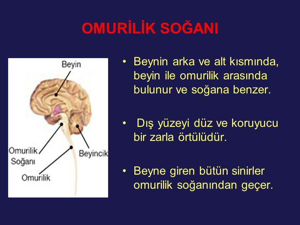 OMURİLİK SOĞANI Beynin arka ve alt kısmında, beyin ile omurilik arasında bulunur ve soğana benzer. Dış yüzeyi düz ve koruyucu bir zarla örtülüdür. Bey