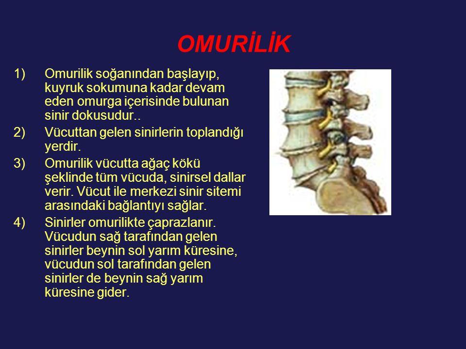 OMURİLİK 1)Omurilik soğanından başlayıp, kuyruk sokumuna kadar devam eden omurga içerisinde bulunan sinir dokusudur.. 2)Vücuttan gelen sinirlerin topl