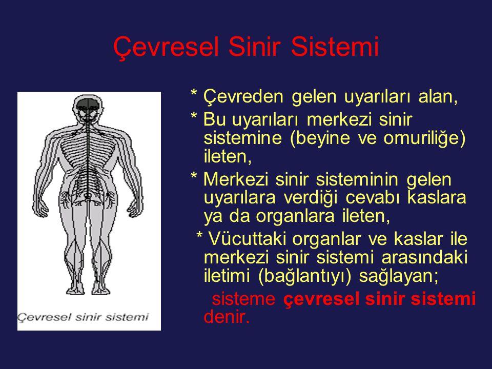 Çevresel Sinir Sistemi * Çevreden gelen uyarıları alan, * Bu uyarıları merkezi sinir sistemine (beyine ve omuriliğe) ileten, * Merkezi sinir sistemini