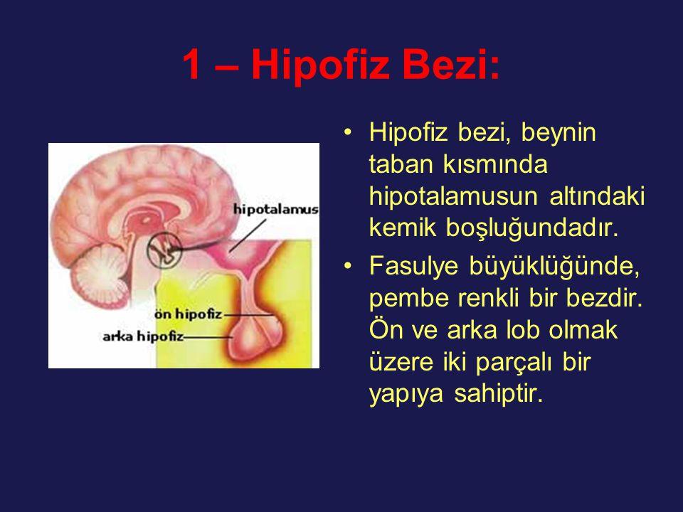 1 – Hipofiz Bezi: Hipofiz bezi, beynin taban kısmında hipotalamusun altındaki kemik boşluğundadır. Fasulye büyüklüğünde, pembe renkli bir bezdir. Ön v