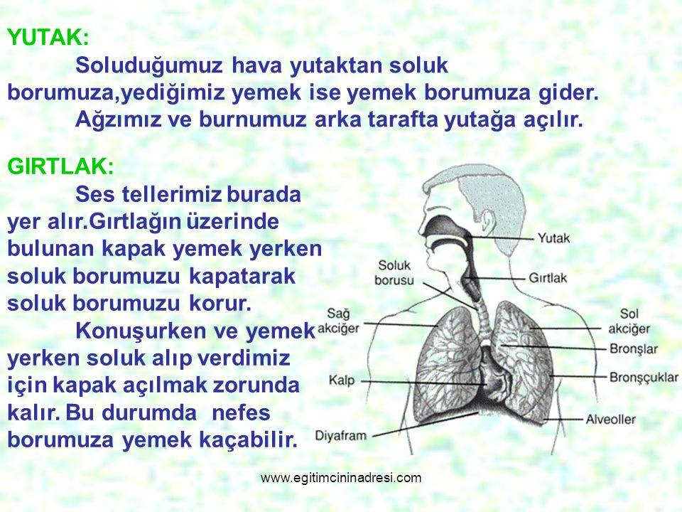 SOLUK BORUSU: Burnumuzdan aldığımız havayı akciğerlerimize taşıyan borudur.