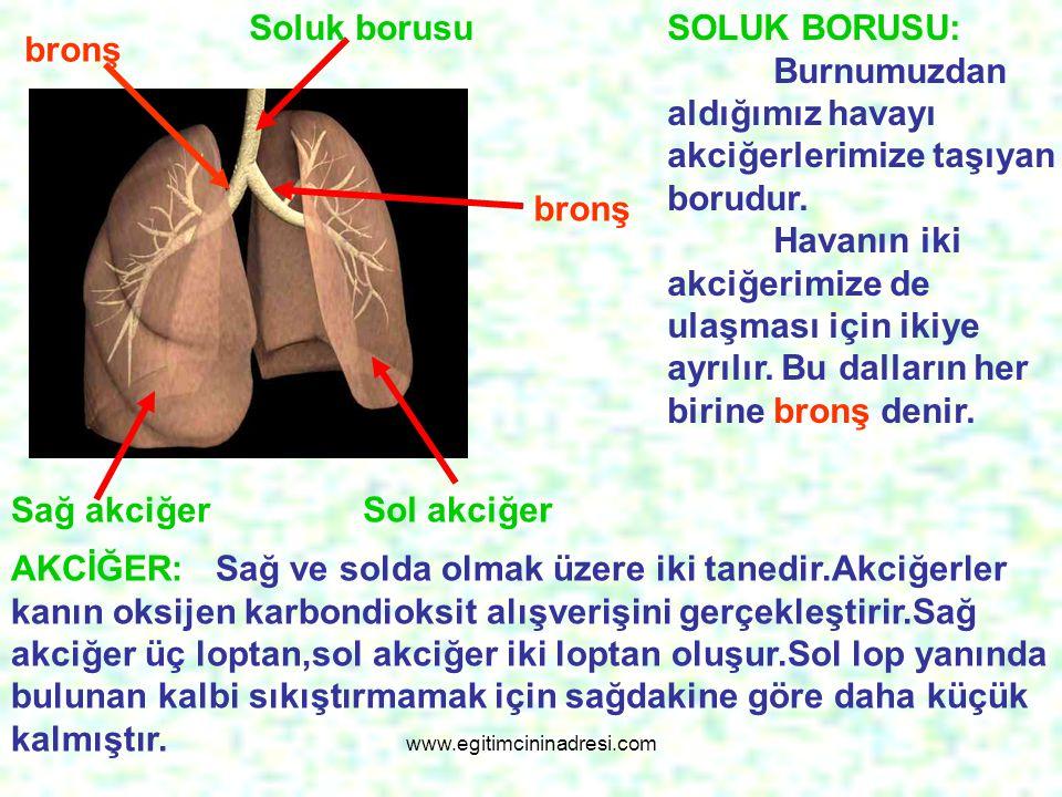 SOLUK BORUSU: Burnumuzdan aldığımız havayı akciğerlerimize taşıyan borudur. Havanın iki akciğerimize de ulaşması için ikiye ayrılır. Bu dalların her b