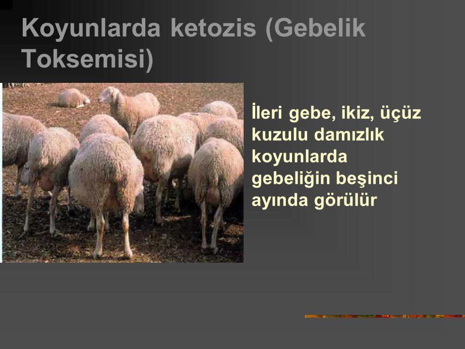 Koyunlarda ketozis (Gebelik Toksemisi) İleri gebe, ikiz, üçüz kuzulu damızlık koyunlarda gebeliğin beşinci ayında görülür