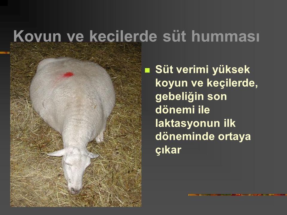 Koyun ve keçilerde süt humması Süt verimi yüksek koyun ve keçilerde, gebeliğin son dönemi ile laktasyonun ilk döneminde ortaya çıkar