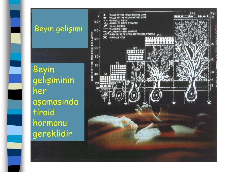 Beyin gelişimi Beyin gelişiminin her aşamasında tiroid hormonu gereklidir