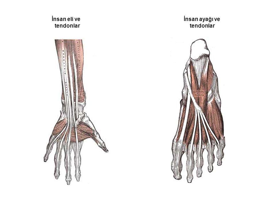 Tendon: Çizgili kasların uç kısımlarında bulunan beyaz sağlam yapılı kirişlerdir. Kasların kemiğe tutunmasını sağlarlar.