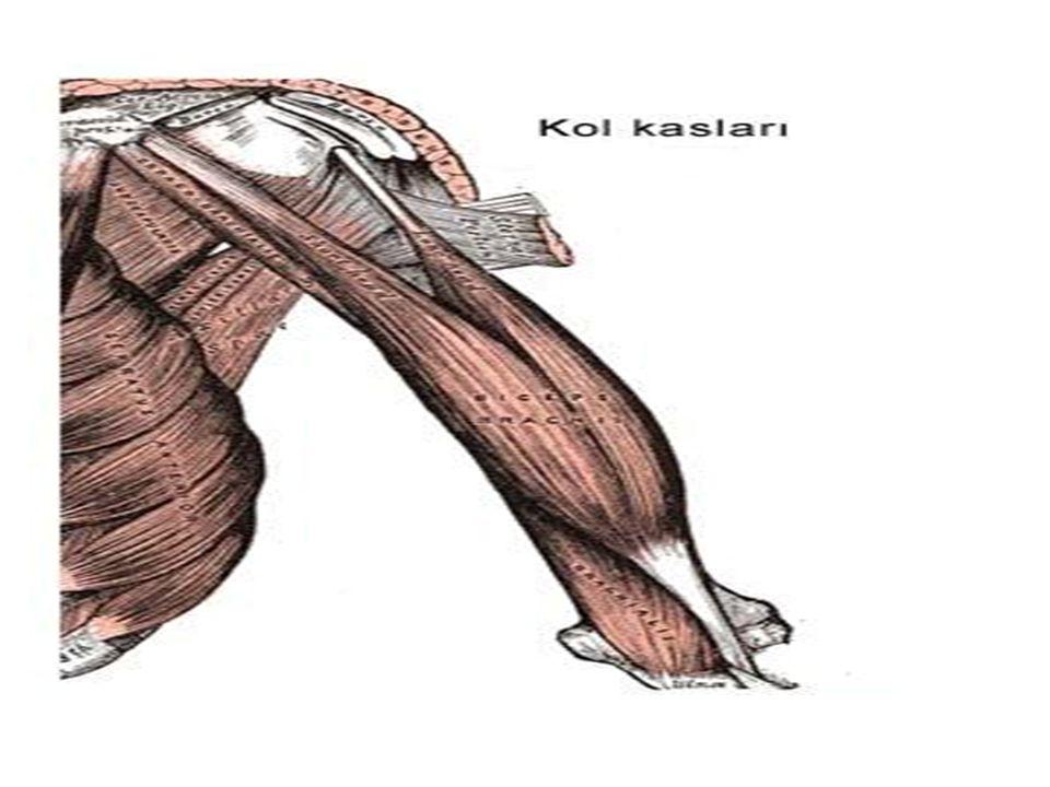 İnsan eli ve tendonlar İnsan ayağı ve tendonlar