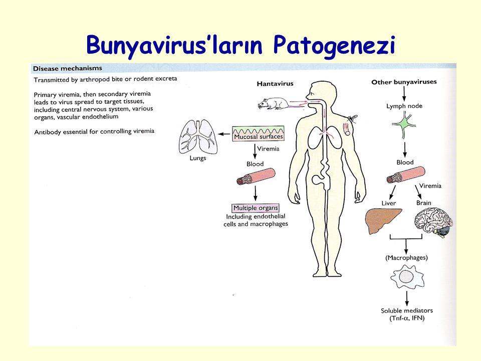 Bunyavirus'ların Patogenezi