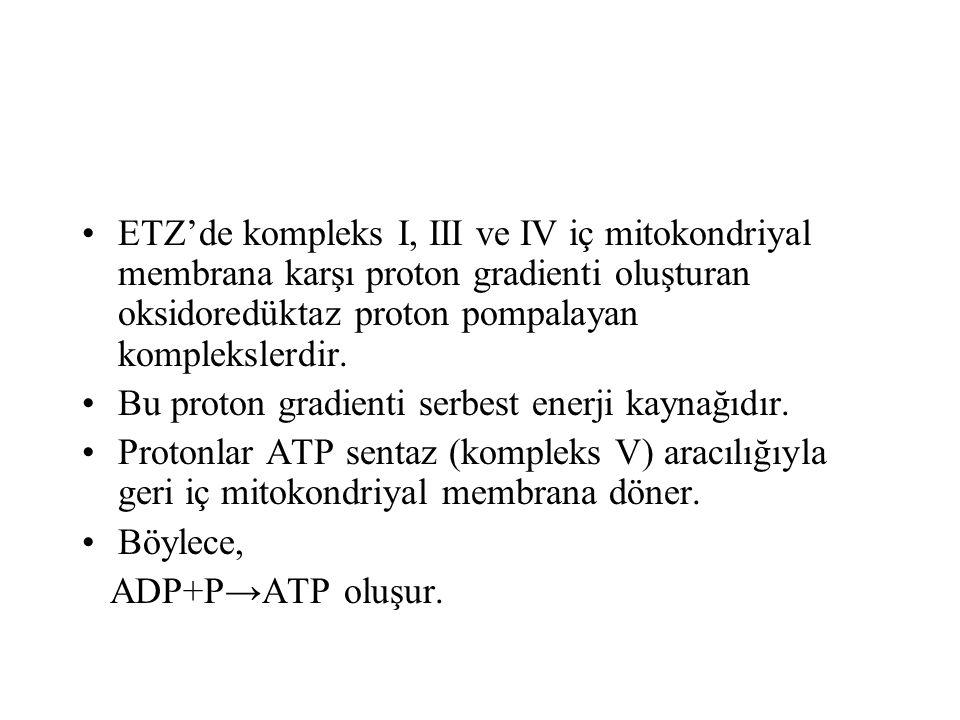 ETZ'de kompleks I, III ve IV iç mitokondriyal membrana karşı proton gradienti oluşturan oksidoredüktaz proton pompalayan komplekslerdir.
