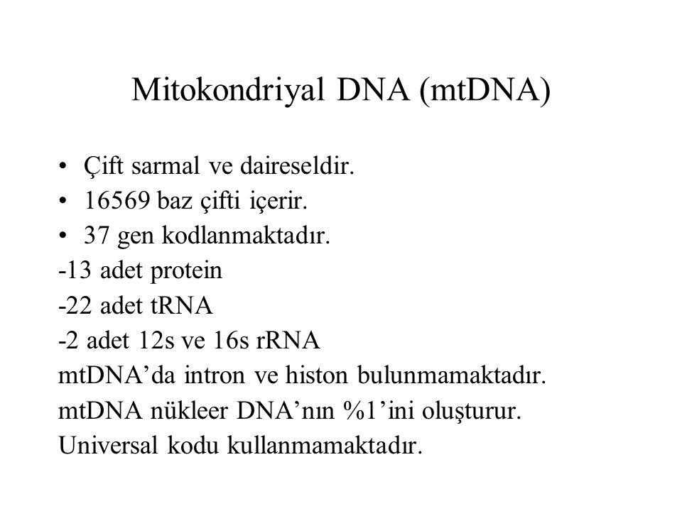 Mitokondriyal DNA (mtDNA) Çift sarmal ve daireseldir.