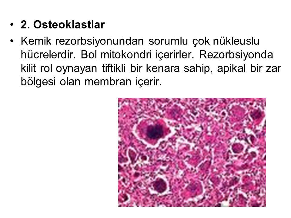 2.Osteoklastlar Kemik rezorbsiyonundan sorumlu çok nükleuslu hücrelerdir.