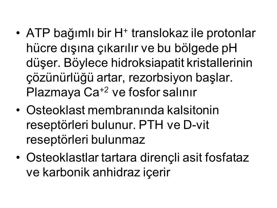ATP bağımlı bir H + translokaz ile protonlar hücre dışına çıkarılır ve bu bölgede pH düşer.