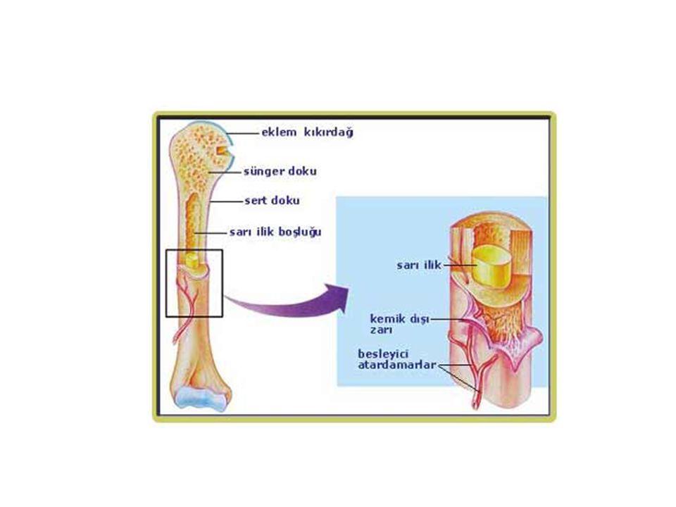 Kemik hücreleri Kemiklerde osteoblastlar, osteoklastlar, osteositler ve osteoprogenitör hücreler bulunur Kemiğin dış kısmında bone lining cell olarak adlandırılan ve kemik yüzeyini saran, mineral homeostazisini kısa süreli olarak düzenleyen hücreler yer alır 1.