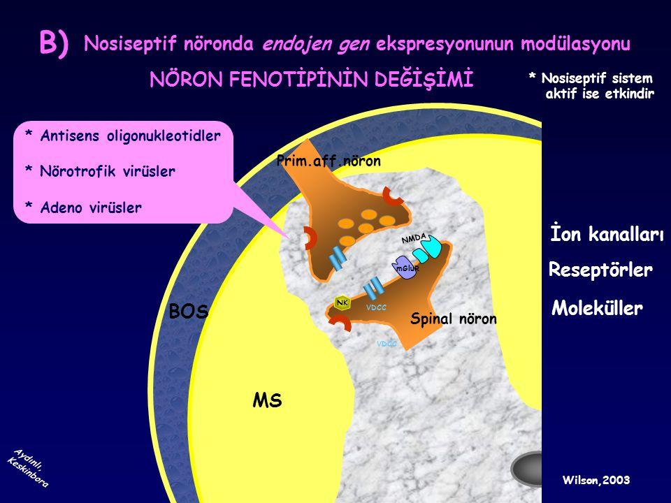 BOS MS Prim.aff.nöron Spinal nöron Nosiseptif nöronda endojen gen ekspresyonunun modülasyonu NÖRON FENOTİPİNİN DEĞİŞİMİ mGluR VDCC İon kanalları * Ant