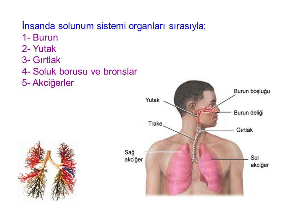 İnsanda solunum sistemi organları sırasıyla; 1- Burun 2- Yutak 3- Gırtlak 4- Soluk borusu ve bronşlar 5- Akciğerler