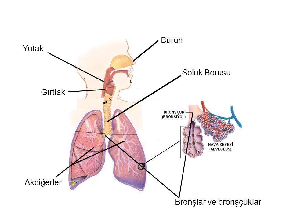 Burun Soluk Borusu Bronşlar ve bronşçuklar Akciğerler Yutak Gırtlak