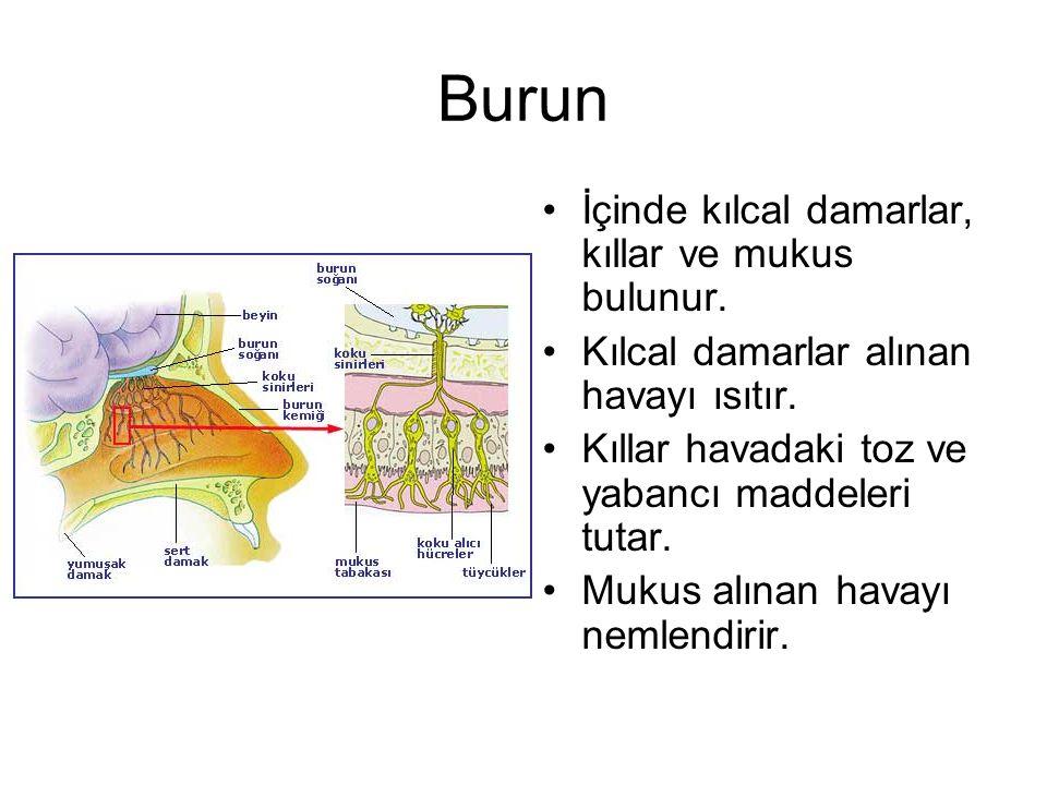 Burun İçinde kılcal damarlar, kıllar ve mukus bulunur. Kılcal damarlar alınan havayı ısıtır. Kıllar havadaki toz ve yabancı maddeleri tutar. Mukus alı