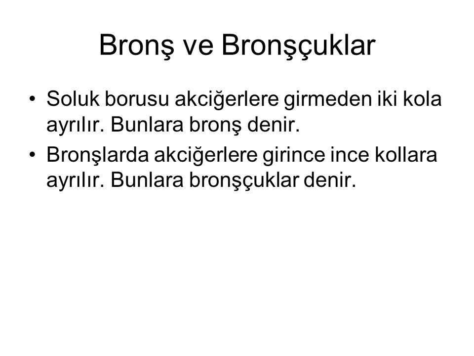 Bronş ve Bronşçuklar Soluk borusu akciğerlere girmeden iki kola ayrılır. Bunlara bronş denir. Bronşlarda akciğerlere girince ince kollara ayrılır. Bun