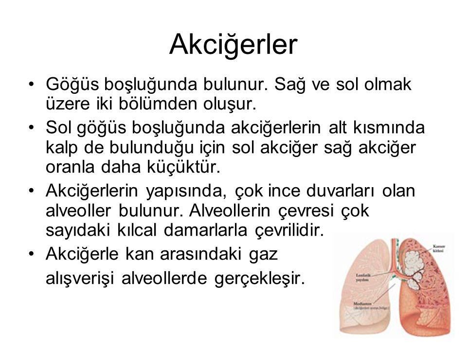 Akciğerler Göğüs boşluğunda bulunur. Sağ ve sol olmak üzere iki bölümden oluşur. Sol göğüs boşluğunda akciğerlerin alt kısmında kalp de bulunduğu için