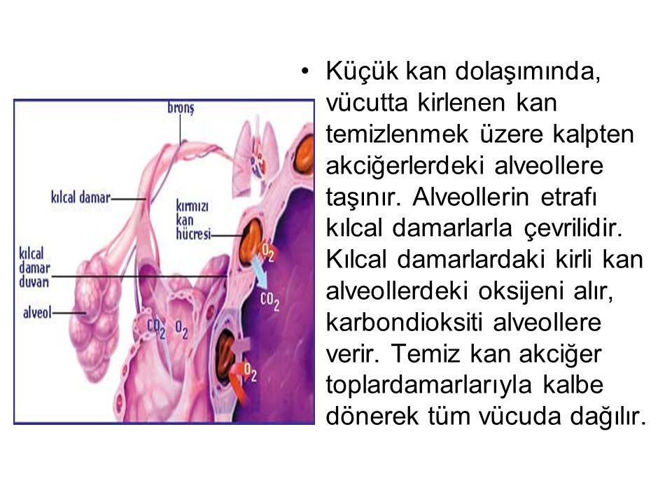 Küçük kan dolaşımında, vücutta kirlenen kan temizlenmek üzere kalpten akciğerlerdeki alveollere taşınır. Alveollerin etrafı kılcal damarlarla çevrilid
