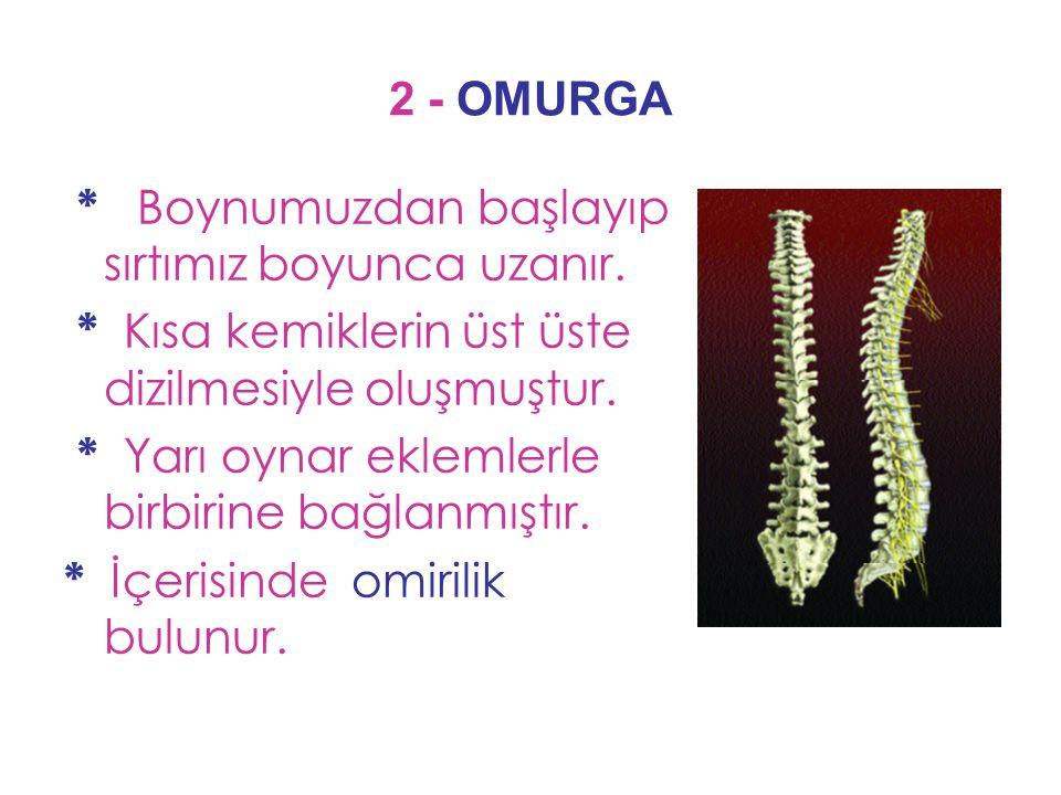 2 - OMURGA * Boynumuzdan başlayıp sırtımız boyunca uzanır. * Kısa kemiklerin üst üste dizilmesiyle oluşmuştur. * Yarı oynar eklemlerle birbirine bağla