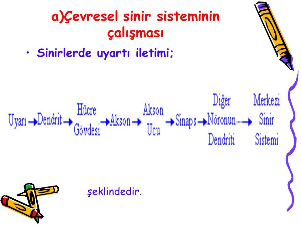 a)Çevresel sinir sisteminin çalışması Sinirlerde uyartı iletimi; şeklindedir.
