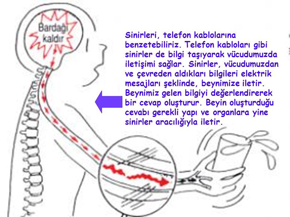 Sinirleri, telefon kablolarına benzetebiliriz. Telefon kabloları gibi sinirler de bilgi taşıyarak vücudumuzda iletişimi sağlar. Sinirler, vücudumuzdan