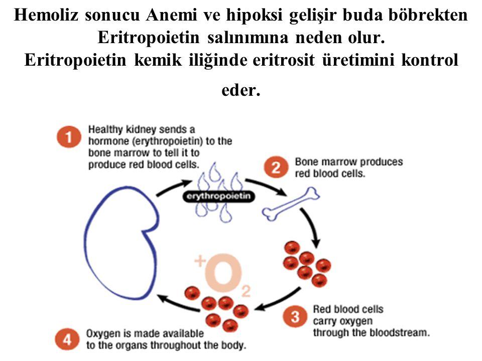 Hemoliz sonucu Anemi ve hipoksi gelişir buda böbrekten Eritropoietin salınımına neden olur. Eritropoietin kemik iliğinde eritrosit üretimini kontrol e