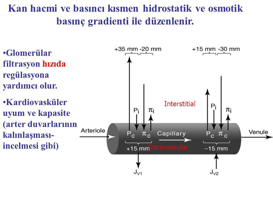 Glomerülar filtrasyon hızıda regülasyona yardımcı olur. Kardiovasküler uyum ve kapasite (arter duvarlarının kalınlaşması- incelmesi gibi) Kan hacmi ve