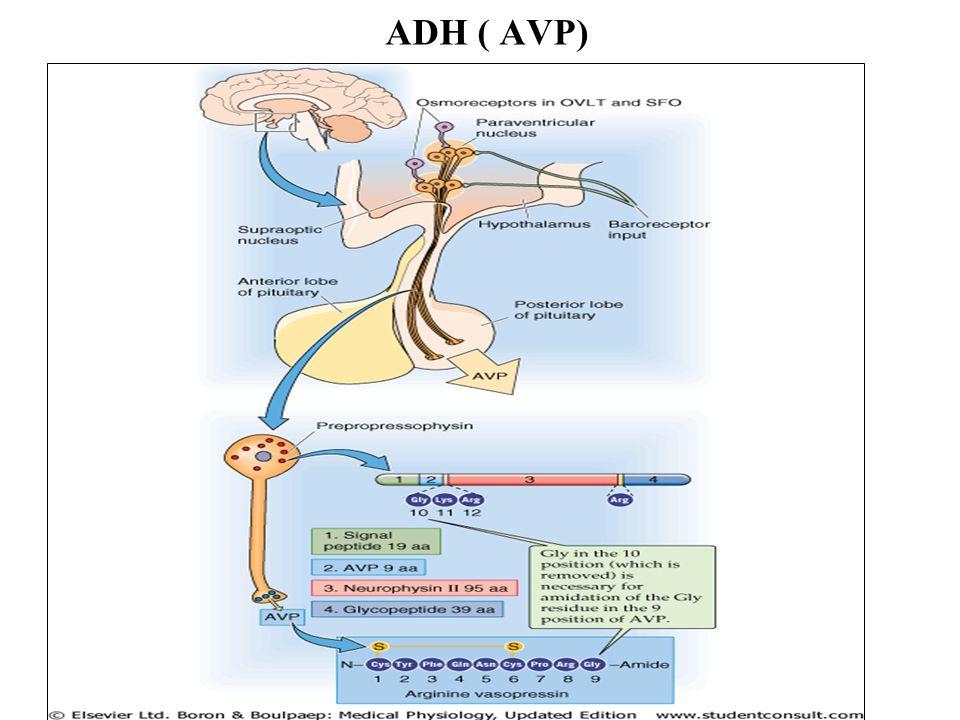 ADH ( AVP)
