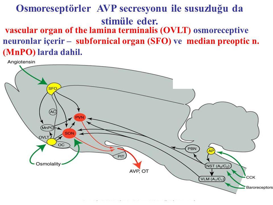 vascular organ of the lamina terminalis (OVLT) osmoreceptive neuronlar içerir – subfornical organ (SFO) ve median preoptic n. (MnPO) larda dahil. Osmo