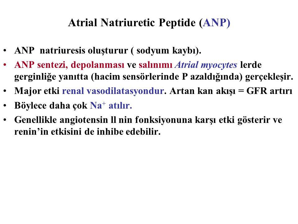 Atrial Natriuretic Peptide (ANP) ANP natriuresis oluşturur ( sodyum kaybı). ANP sentezi, depolanması ve salınımı Atrial myocytes lerde gerginliğe yanı