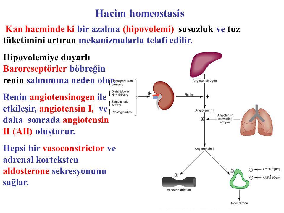 Kan hacminde ki bir azalma (hipovolemi) susuzluk ve tuz tüketimini artıran mekanizmalarla telafi edilir. Hacim homeostasis Hipovolemiye duyarlı Barore