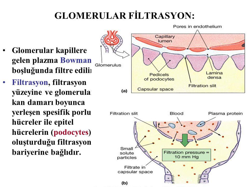 GLOMERULAR FİLTRASYON: Glomerular kapillere gelen plazma Bowman boşluğunda filtre edilir. Filtrasyon, filtrasyon yüzeyine ve glomerular kan damarı boy