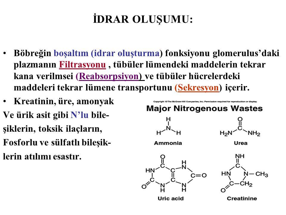 İDRAR OLUŞUMU: Böbreğin boşaltım (idrar oluşturma) fonksiyonu glomerulus'daki plazmanın Filtrasyonu, tübüler lümendeki maddelerin tekrar kana verilmse