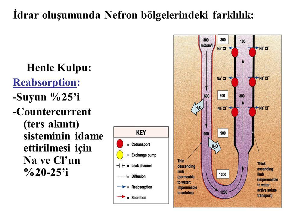 İdrar oluşumunda Nefron bölgelerindeki farklılık: Henle Kulpu: Reabsorption: -Suyun %25'i -Countercurrent (ters akıntı) sisteminin idame ettirilmesi i