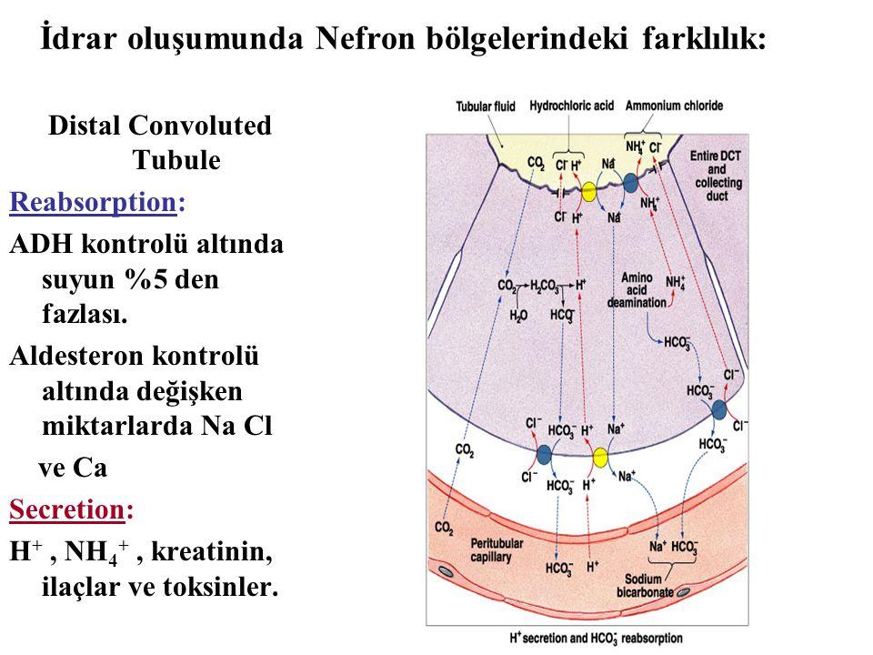 İdrar oluşumunda Nefron bölgelerindeki farklılık: Distal Convoluted Tubule Reabsorption: ADH kontrolü altında suyun %5 den fazlası. Aldesteron kontrol