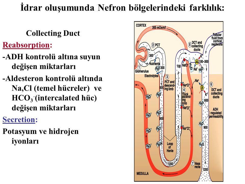 İdrar oluşumunda Nefron bölgelerindeki farklılık: Collecting Duct Reabsorption: -ADH kontrolü altına suyun değişen miktarları -Aldesteron kontrolü alt