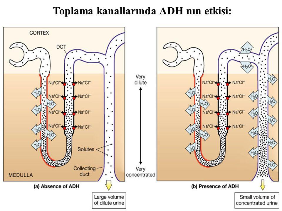 Figure 26.15a, b Toplama kanallarında ADH nın etkisi: