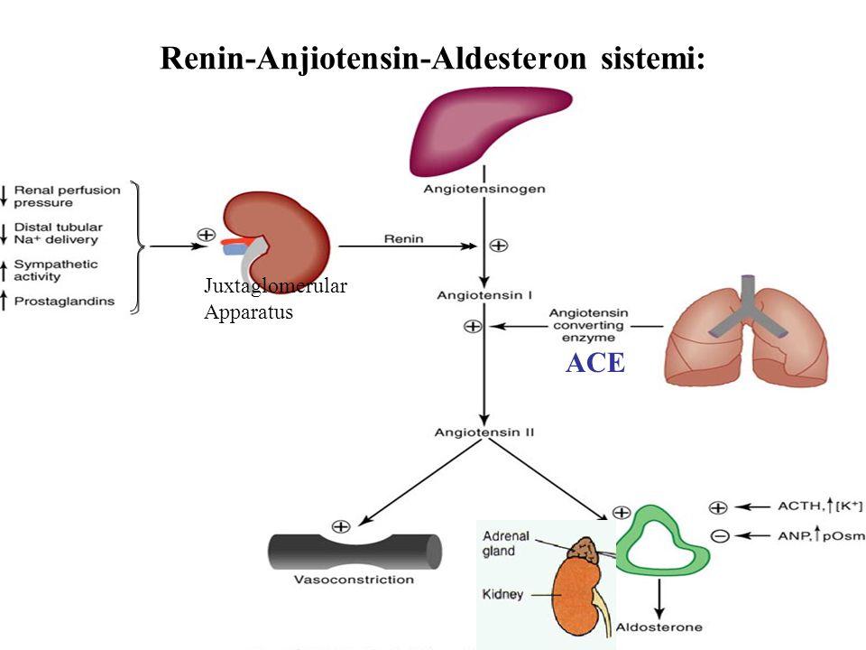 Renin-Anjiotensin-Aldesteron sistemi: ACE Juxtaglomerular Apparatus
