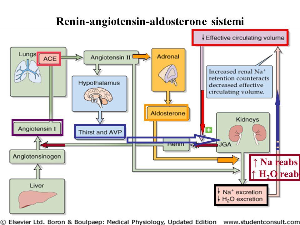 Renin-angiotensin-aldosterone sistemi ↑ Na reabs ↑ H 2 O reab