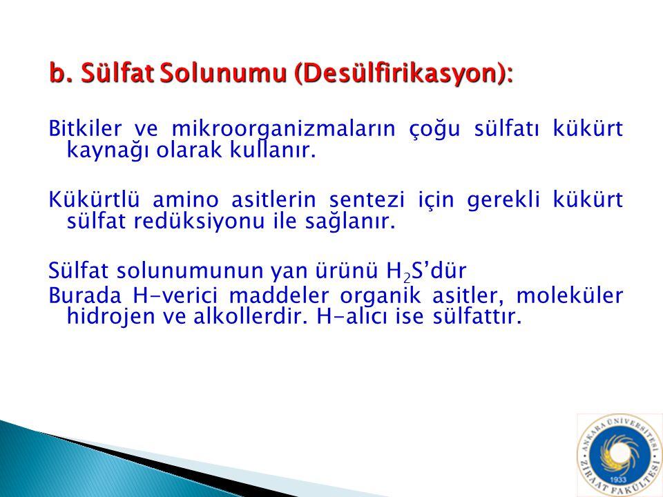 b. Sülfat Solunumu (Desülfirikasyon): Bitkiler ve mikroorganizmaların çoğu sülfatı kükürt kaynağı olarak kullanır. Kükürtlü amino asitlerin sentezi iç
