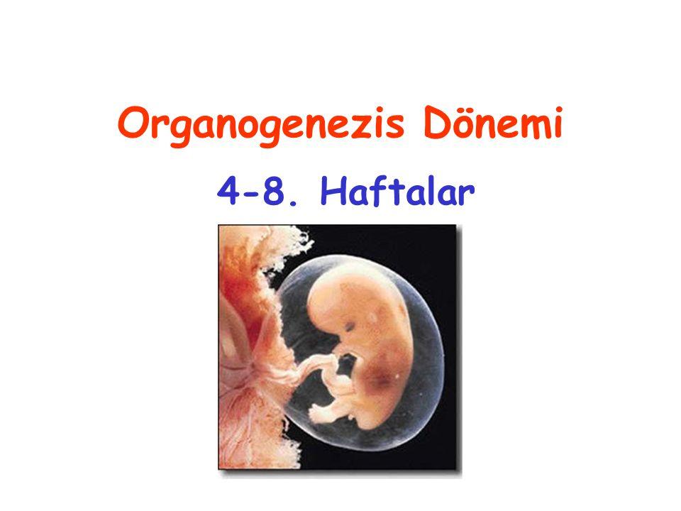 4.HAFTA (2-3,5 mm) Yutak yayları (24. gün) 26. gün anterior nöropor 26-27.