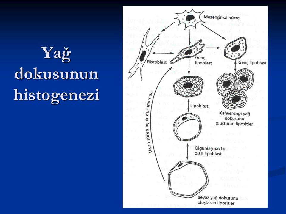Yağ doku tipleri Yağ vakuolunün gelişim süreci Yağ vakuolunün gelişim süreci Sayısı Sayısı Yerleşimi Yerleşimi Fonksiyonu ve histolojik farklarına göre iki tip yağ dokusu ayırt edilir.