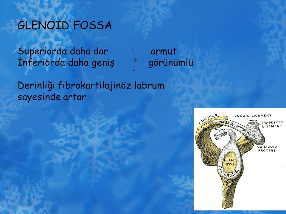 GLENOİD FOSSA Superiorda daha dar armut İnferiorda daha geniş görünümlü Derinliği fibrokartilajinöz labrum sayesinde artar